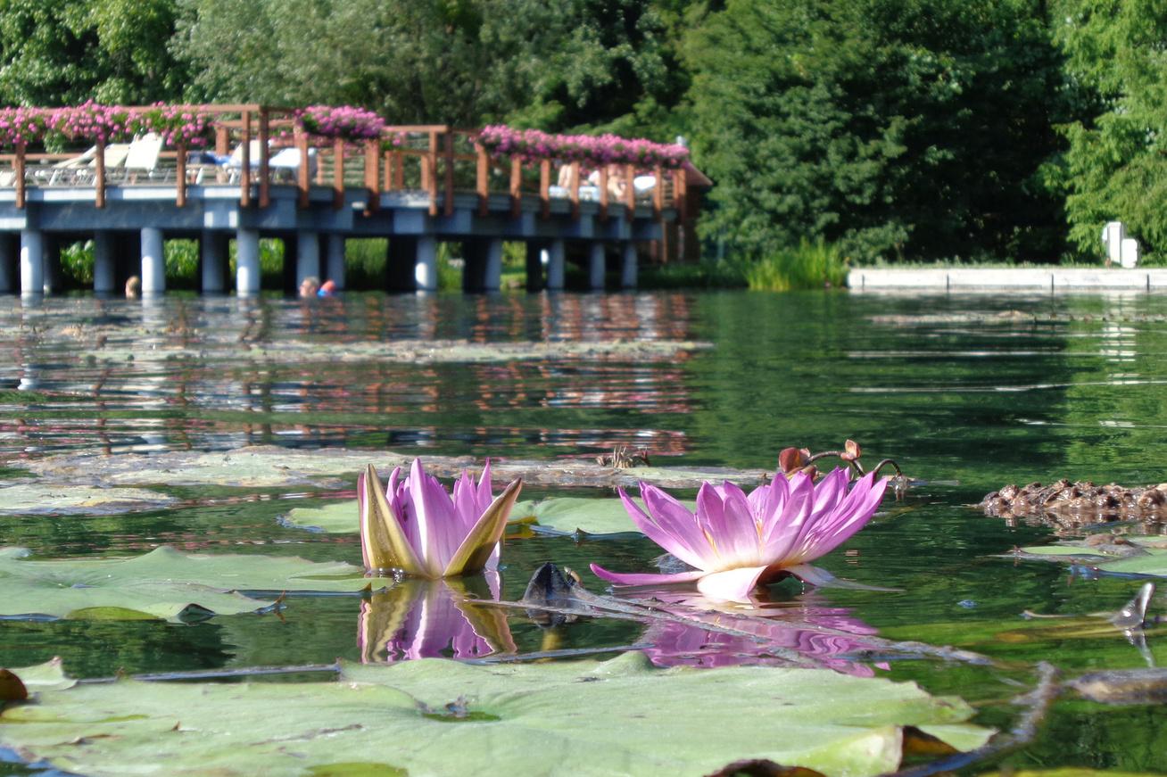 Tavirózsás Hévízi tó